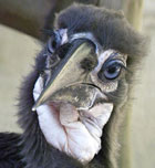 baby-hornbill-rotate-small 4