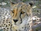 cheetahlauriemarker 2