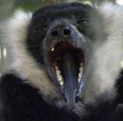 lemur-yawn2 2